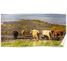 Strolling hairy Coo Poster