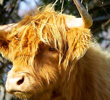 Staring Hairy Coo by Karen Marr