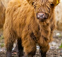 Little Hairy Coo by Karen Marr
