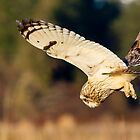 Diving Short-eared Owl by Tom Talbott