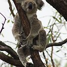 Wild Koala, Magnetic Is, Qld. Australia. by Margaret Stanton