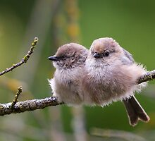 Bushtit Siblings by Tom Talbott