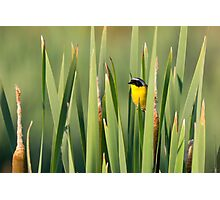 Common Yellowthroat in Cattails Photographic Print