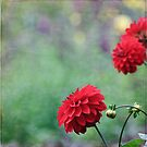 Red Dahlias by Astrid Ewing Photography