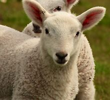 Peek a Boo lambs by Karen Marr