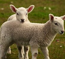 Two little lambs by Karen Marr
