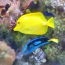 Yellow and Blue Tang Fish by Susan Savad