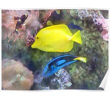 Yellow and Blue Tang Fish Poster