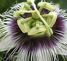 Passion Flower iPhone/iPod Case by KimSha