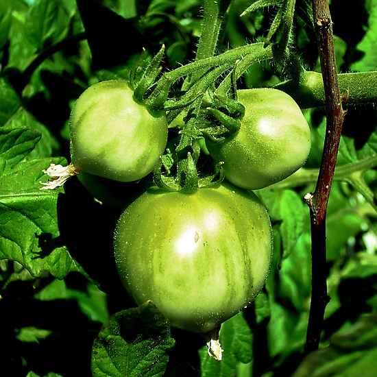 Green Tomatoes by Jess Meacham
