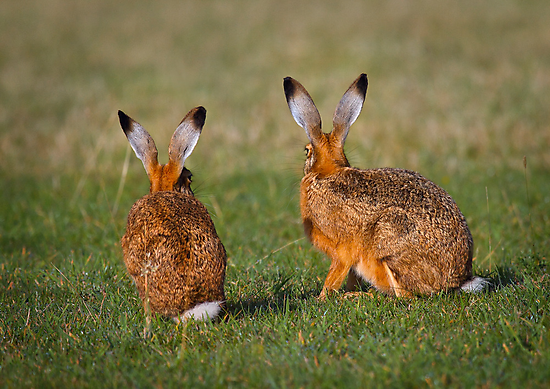 Hares Have Ears by Patricia Jacobs CPAGB LRPS BPE3