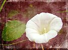 Bindweed - The Wild Perennial Morning Glory by MotherNature