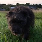 Bailey - The Paterdale (Fell Terrier) VI by Chris Clark