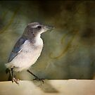Fledgling California Scrub Jay by Lynn Starner