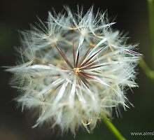 Make a Dandelion Wish by -aimslo-