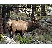Bull Elk Photographic Print
