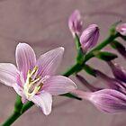 Hosta Blossom And Buds by Sandra Foster