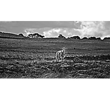 Little lost sheep Photographic Print