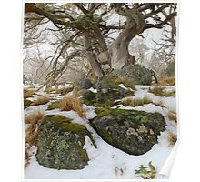 Snow gums grass and  granite . Poster