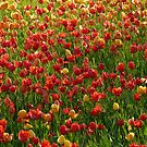 Tulip Field Back Light Light Seem by HQPhotos