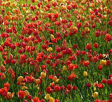 Tulip Field Back Light Light Seem by HQPhotos