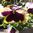 Pansy by AmandaWitt