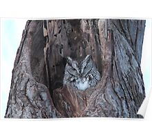 Little Screech Owl Grey Phase Poster