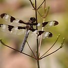 Twelve-spotted Skimmer by hummingbirds