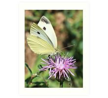 Cabbage White On Spotted Knapweed Art Print
