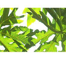 Papaya leaves Photographic Print