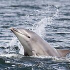 Moray Firth Dolphin Calf by cjdolfin