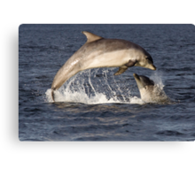 Moray Firth Dolphins Canvas Print