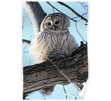 Adorable Barred Owl With Prey Poster