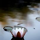 water lily by wistine