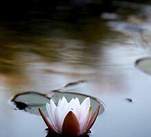 water lily by wistine