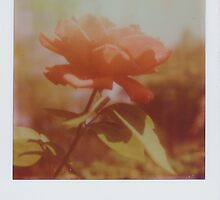 new rose by Jill Auville