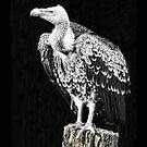Ruppell's Vulture by Sheila Laurens