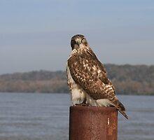 Hawk at Under the Hill Natchez by ronburt
