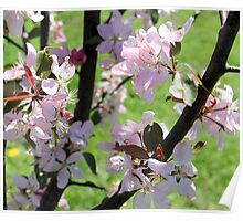 Apple Blossom at it's most beautiful Poster