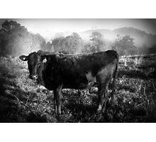 Bovine Series Photographic Print
