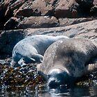 Harbor Seals 2 by Fredda Gordon