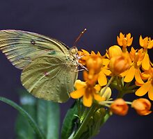 Butterfly by venny
