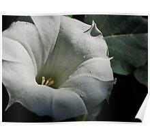 Datura Trumpet flower Poster