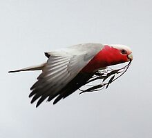 Peace Galah Not Dove by Kym Bradley