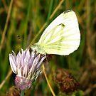 A Cabbage Butterfly  by ienemien