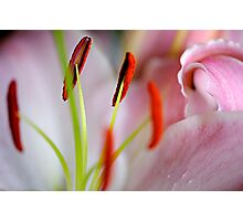 Pink & White Lily Photographic Print
