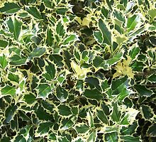Variegated English Holly by James Brotherton