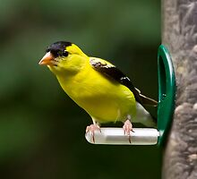 Goldfinch on Feeder by Kenneth Keifer
