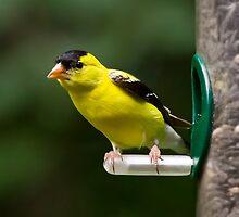 Goldfinch on Feeder by Kenneth Keifer