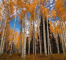 Tall Trees on Kebler Pass by pwahl